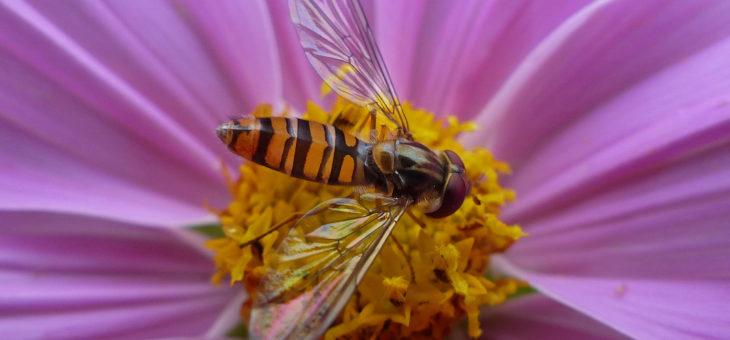 Les syrphes ne sont pas des guêpes ni des abeilles